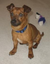 Meet Luke our adorable, full grown, 4 year old dachshund mix. He is ...