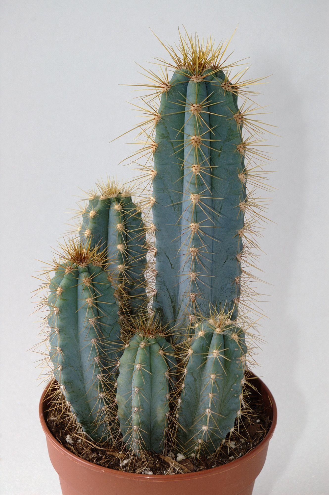 Cirio acacana cereus plantas de interior plantas - Cactus cuidados interior ...
