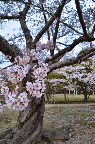 A Twisted Sakura Tree In The Korakuen Gardens In Okayama City Japan Tree Photography Sakura Tree Sakura