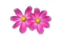 Image Result For Cosmos Flower Tattoo Flowers Flower Clipart Pink Flowers