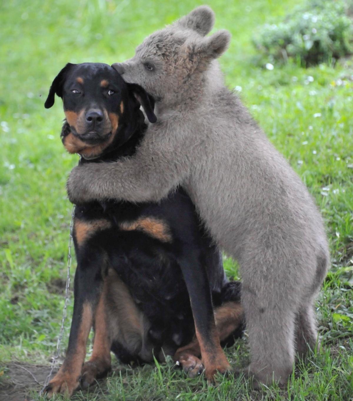 dog and bear - photos - animal odd couples | bear hugs, dog and odd