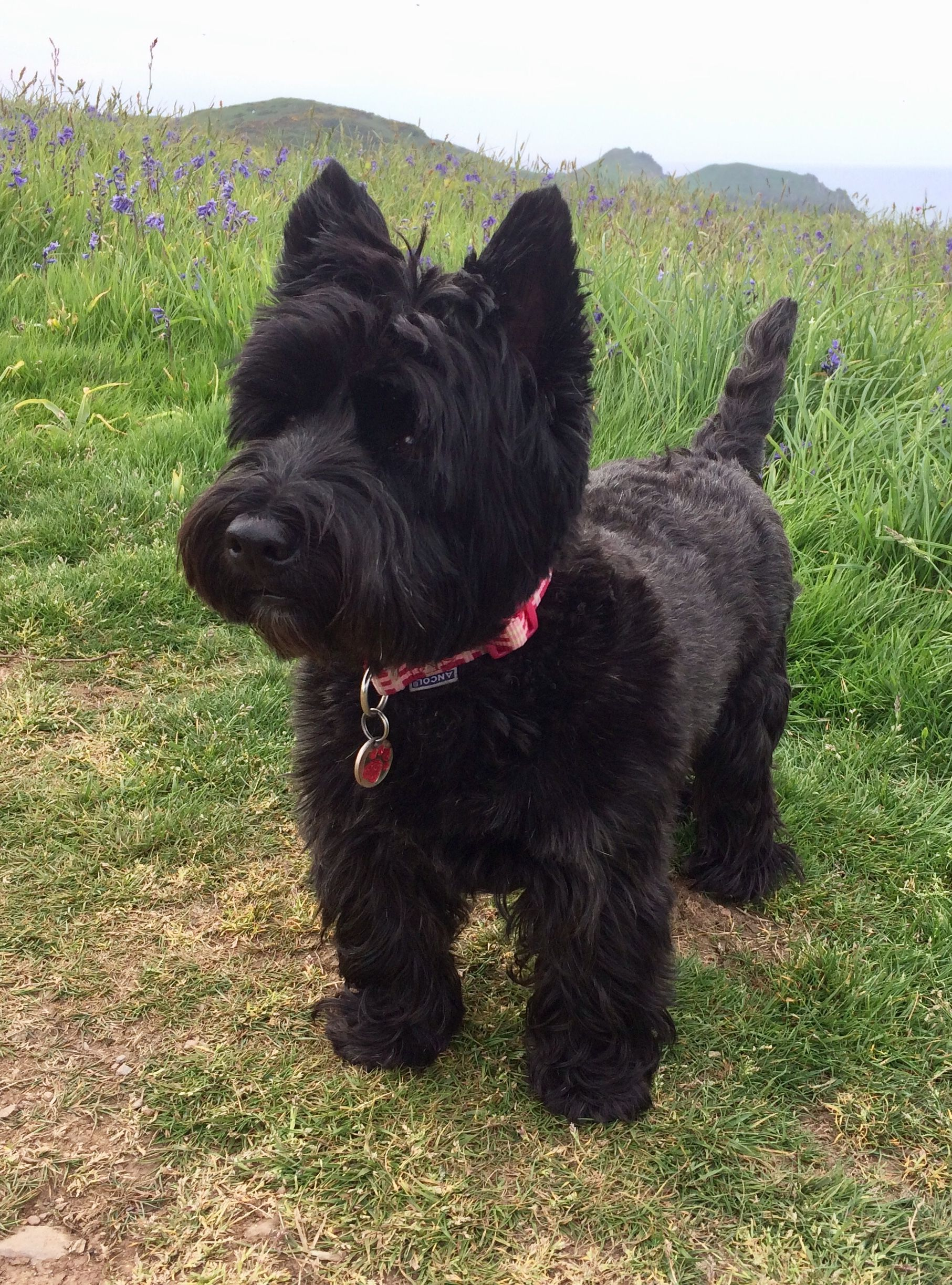 Pin On Scottish Terriers Westies Too