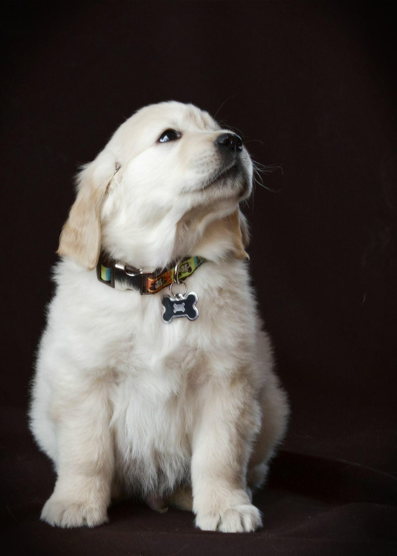 8 Week Old Puppy At Suncrest Golden Retrievers Fezziwig Golden