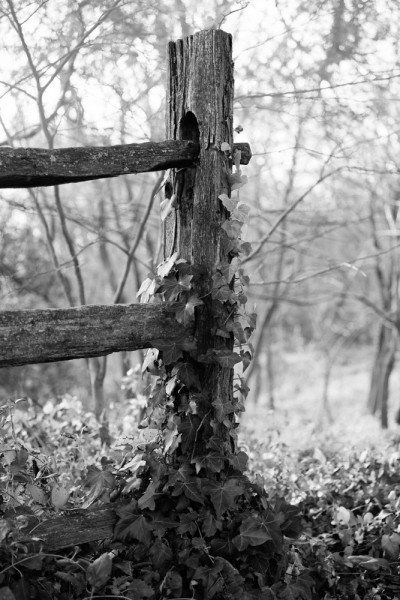 Ivy-Covered Fence Post at Mt. Vernon, Virginia (RQ0A9747)