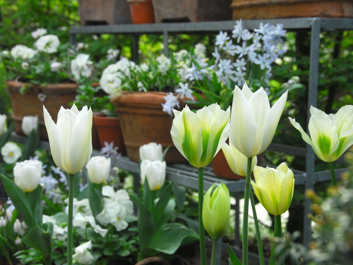 Sadzenie Cebulek Kwiatowych Do Doniczek Tulips Plants Garden