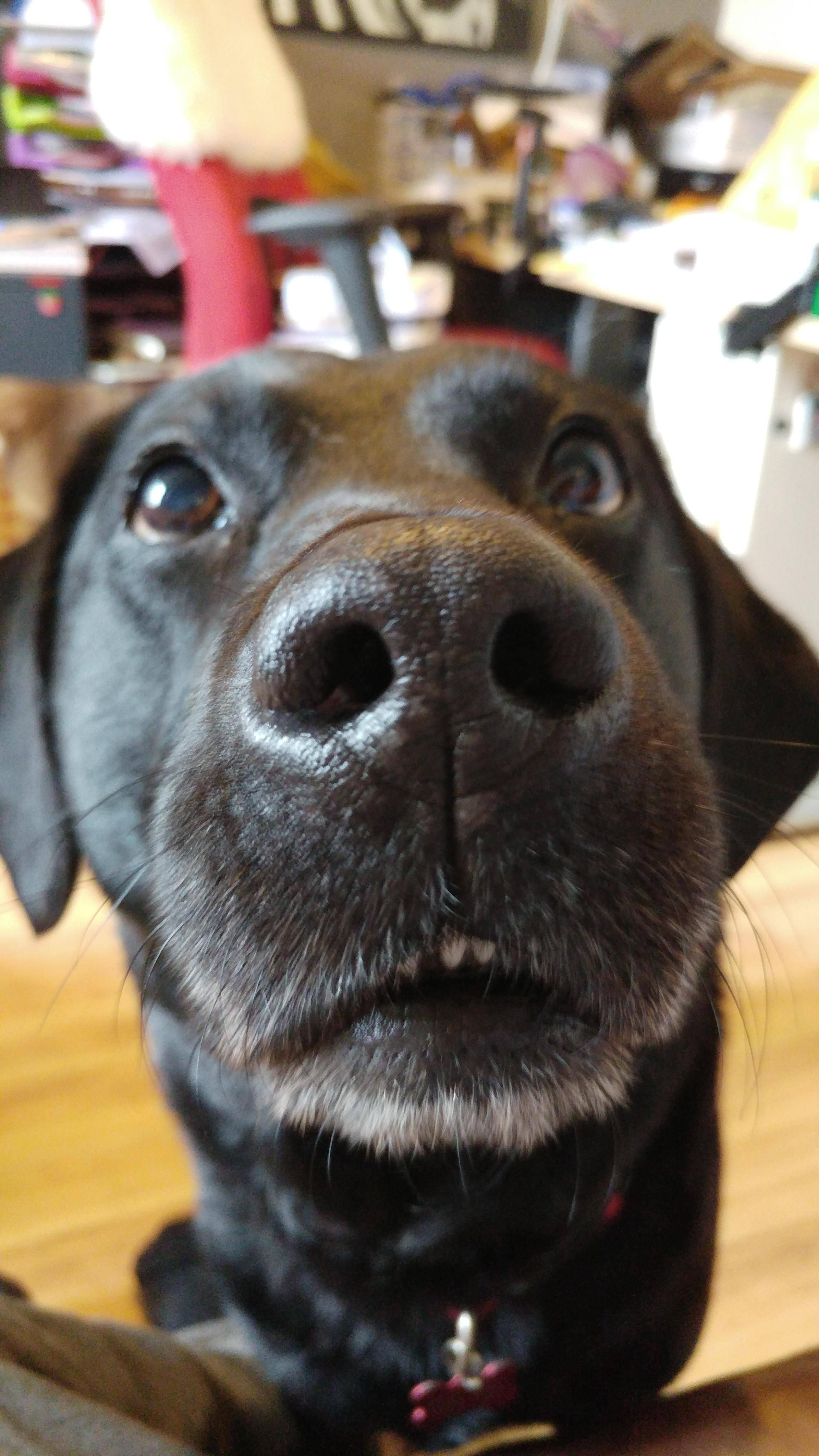Discovered that a little dab of something edible just above the camera produces some wonderful photos!   http://ift.tt/1qwWs9B via /r/dogpictures http://ift.tt/20bpmbt  IFTTT reddit