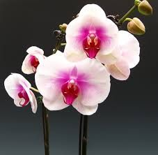 White Orchid With A Hot Pink Center Google Search Phalaenopsis Orchid White Orchids Orchids
