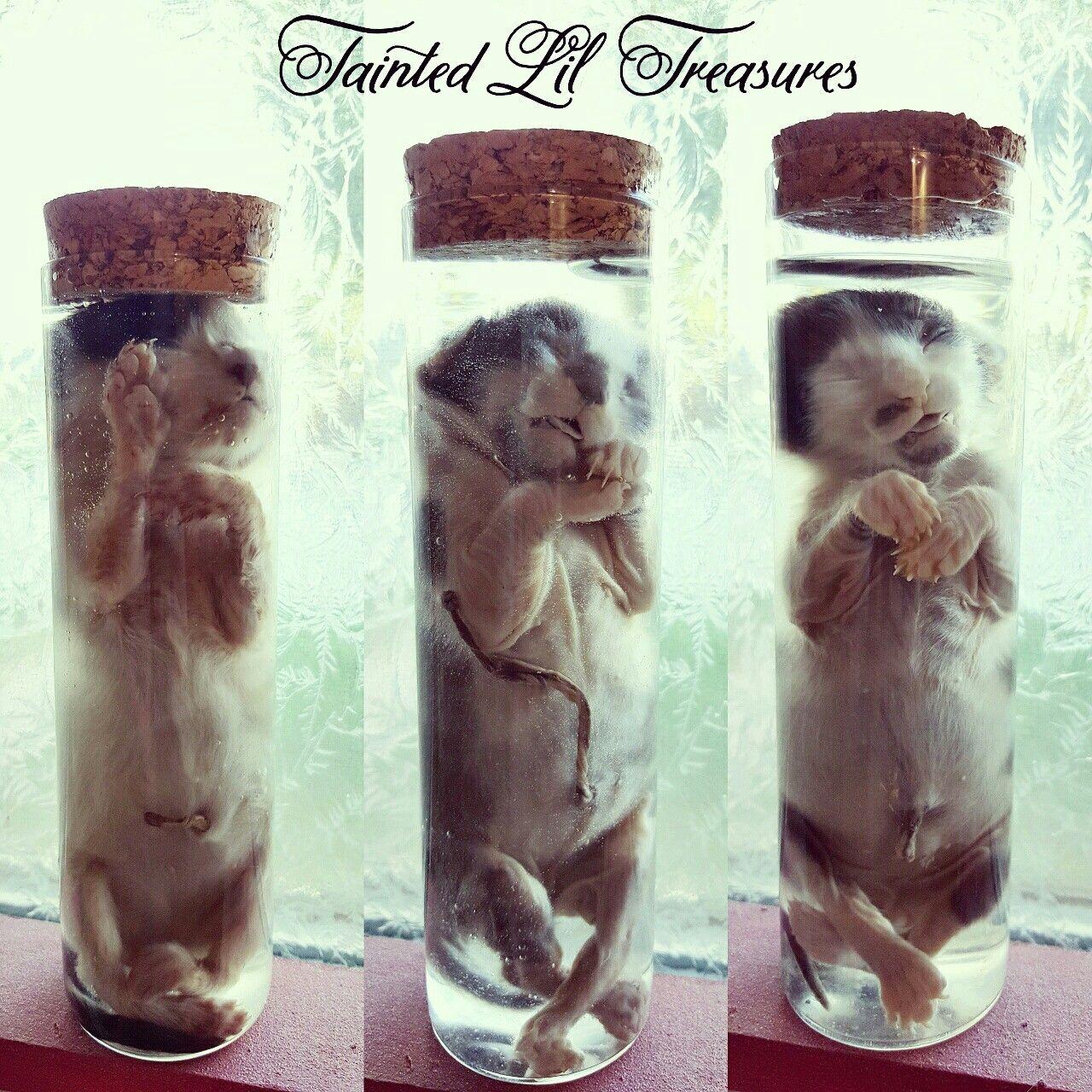 Stillborn Kittens Preserved By Taintedliltreasures On Instagram Taxidermy Art Kittens Oddities
