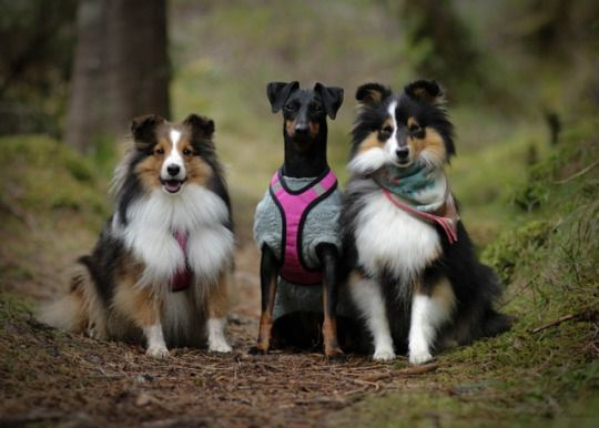 Pin By Natasha Seguin On Dogs Sheltie Dogs Collie