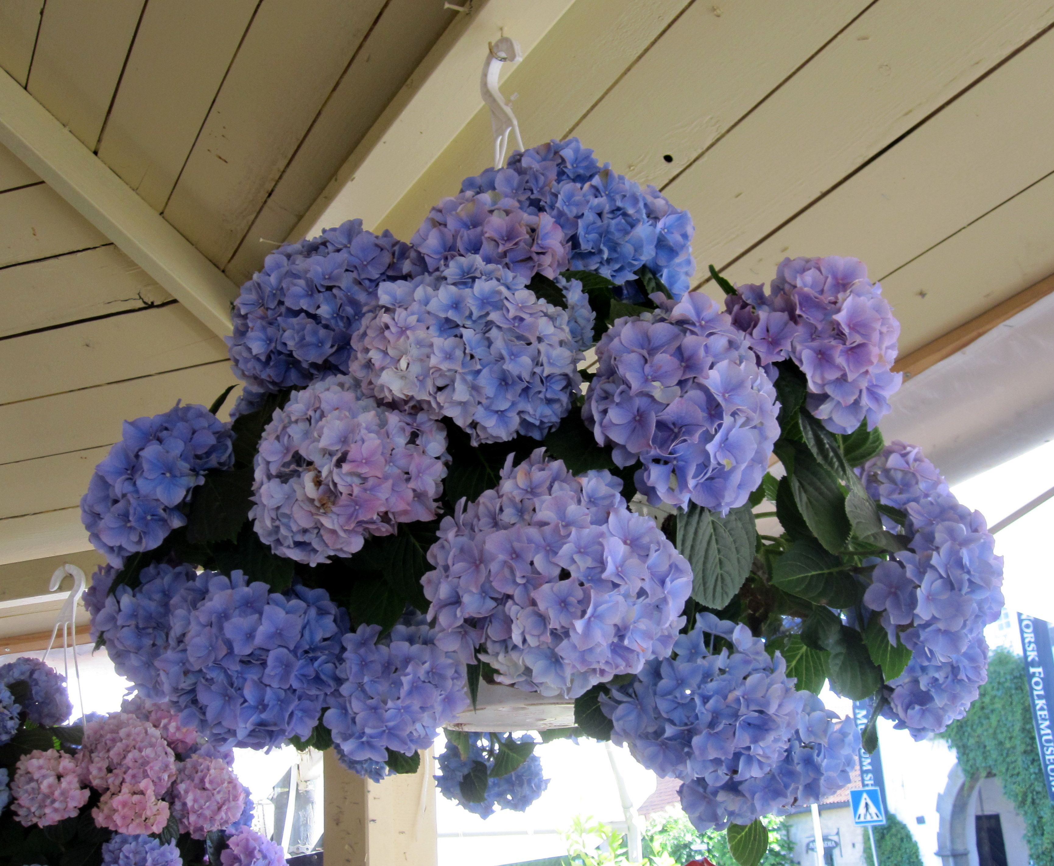 Hanging Basket of Hydrangeas, Oslo, Norway   My Garden & Beyond ...