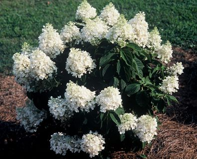 Hydrangea Paniculata Baby Lace One Of The Dwarf Varieties Of Paniculata Full Sun To Part Shade And Cultivated Hydrangea Paniculata Flower Beds Moon Garden