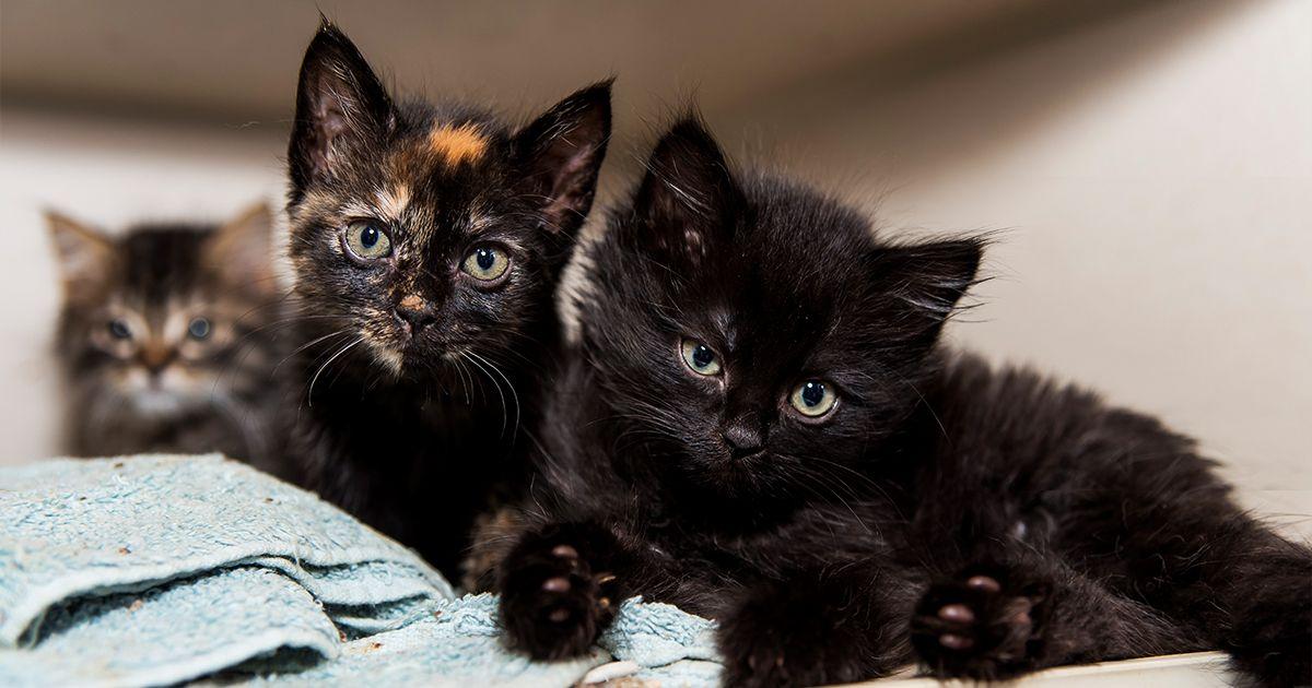 Adopt A Pet Kitten Adoption Cat Nyc Pet Dogs
