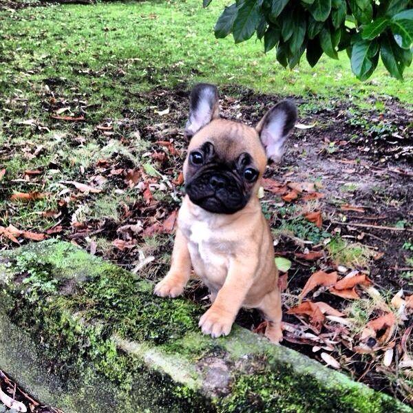 Why Hello There Cutie Pie Franzosische Bulldoggenbabys Frenchie Welpen