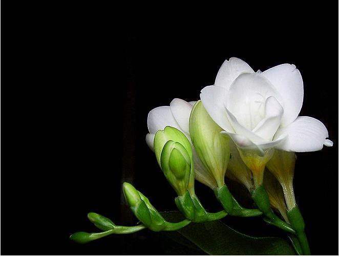 Frezje Kwiaty Izyda55 Chomikuj Pl Plants Blog Vows