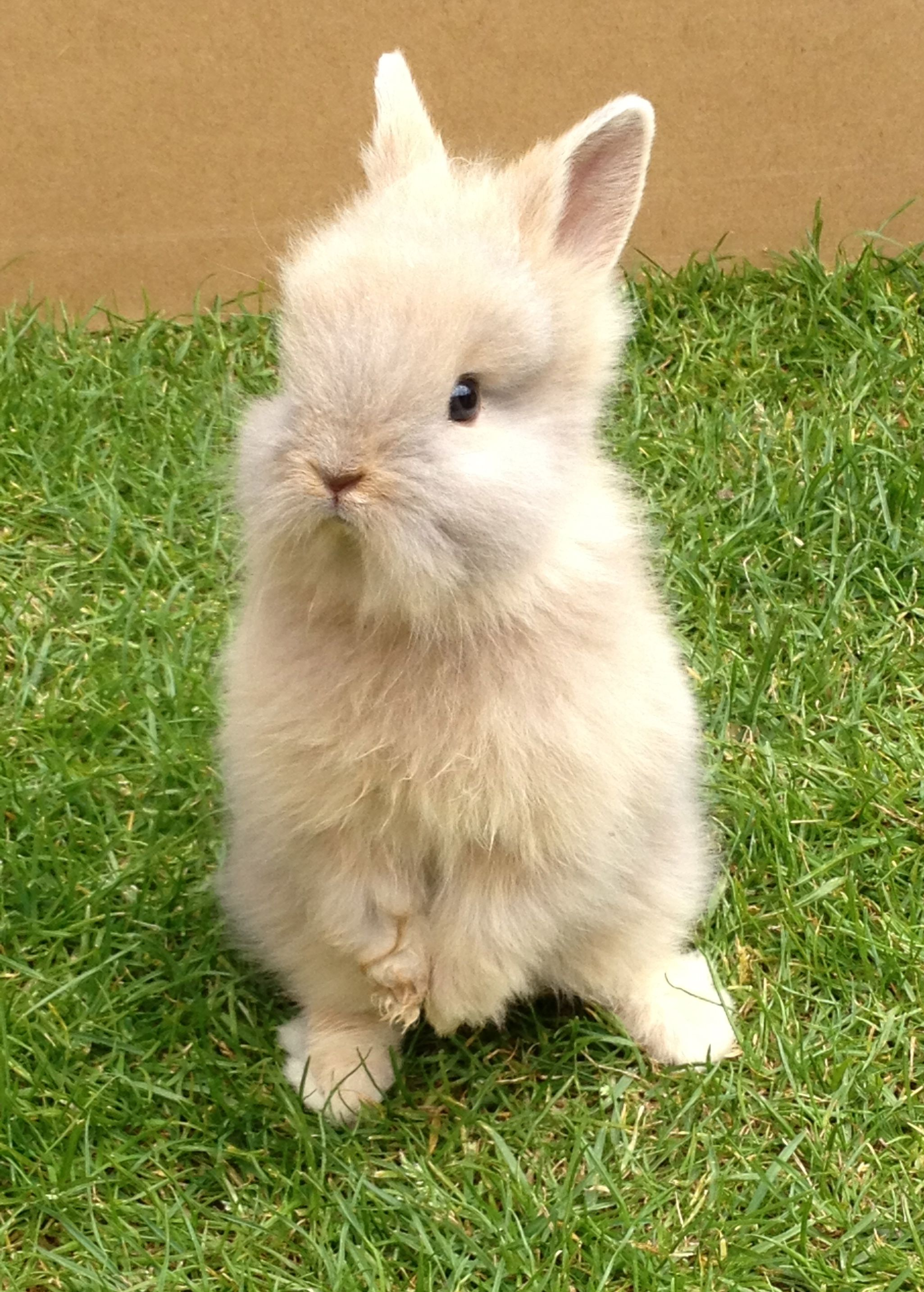 Baby lionhead bunny with images pet bunny cute bunny