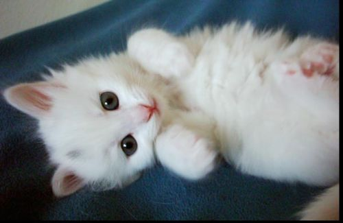 Un Chat Blanc Comme Neige Chaton Mignon Chat Mignon Chaton