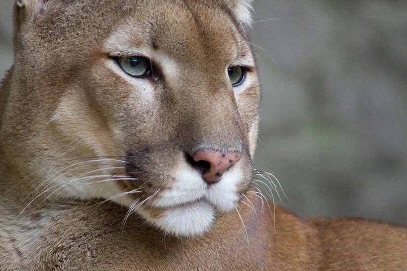 Beautiful Cougar