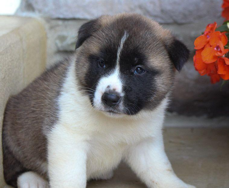 Akita Puppy For Sale Near Fort Wayne Indiana Find Cute Akita
