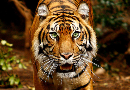 Green tiger eyes - photo#50