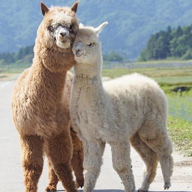 Stop Being So Dang Cute Adorable Llama Cute Alpaca Animal