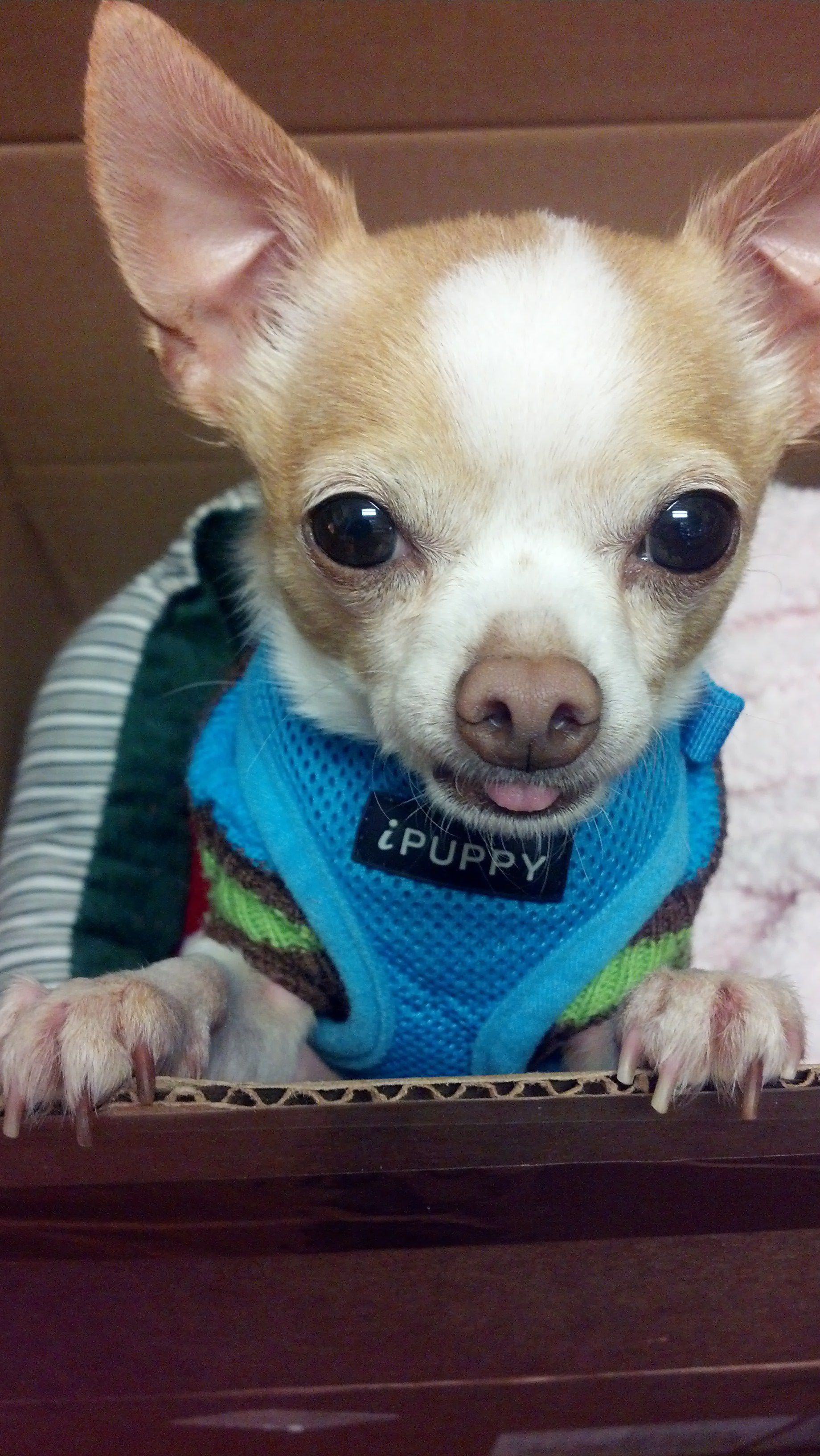 Puppy Pal Puppies Baby Chihuahua Cute Animals