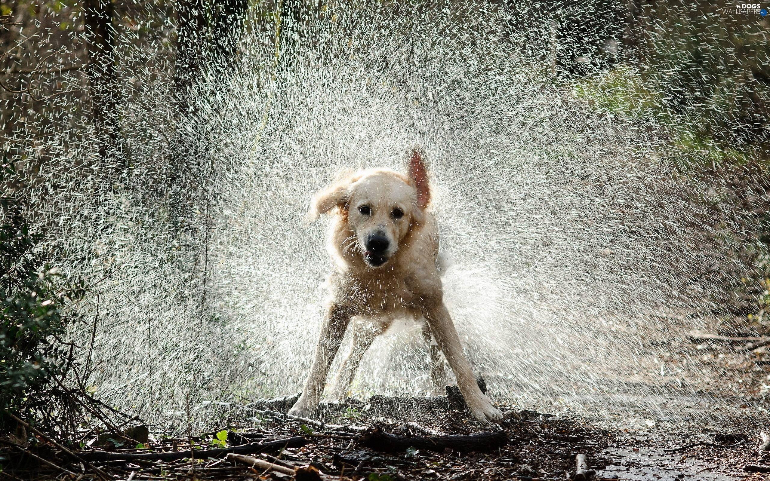 Golden Retriever, water (Görüntüler ile) Sevimli