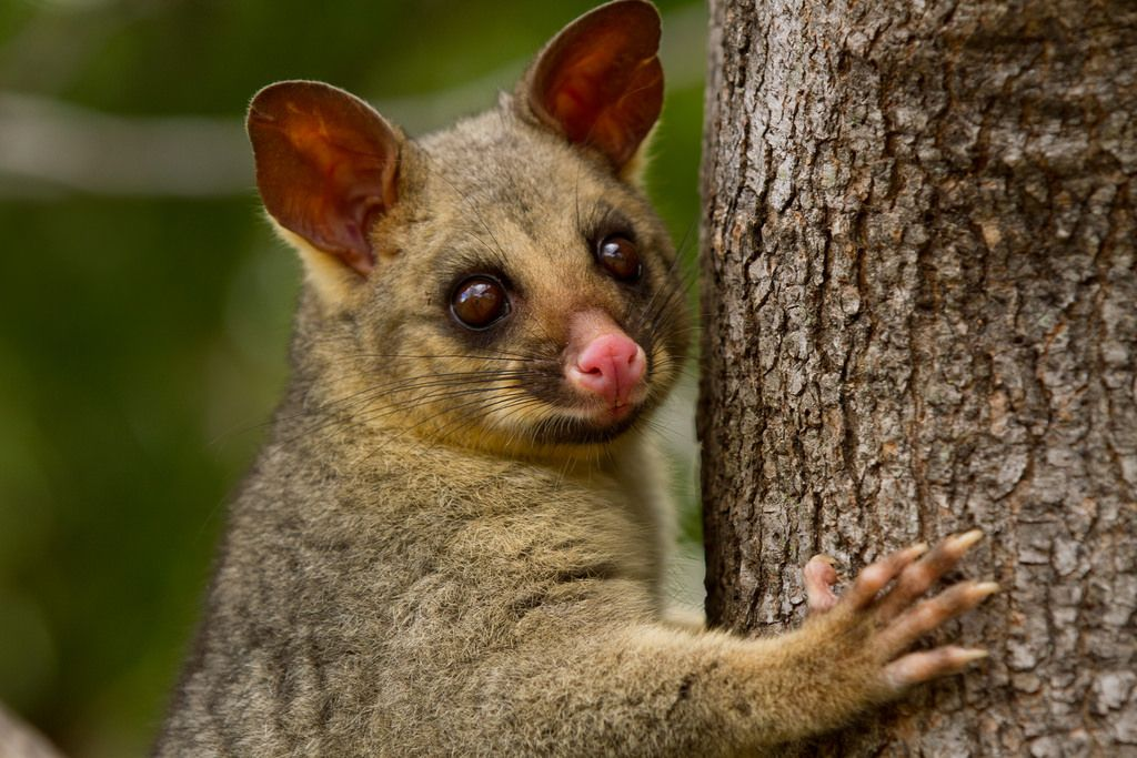 Wildlife & stuff Photo Animals, Marsupial, Possum