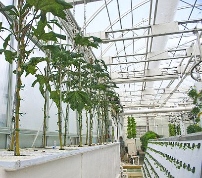 Okra Grown Via Aeroponics Sustainability Hydroponic