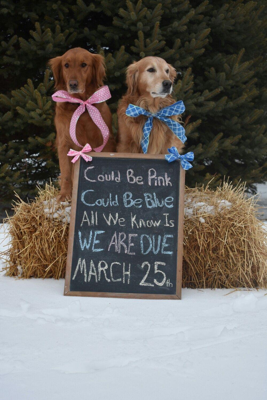 Golden Retriever Puppy Annoucment Photo Shoot We Are Due