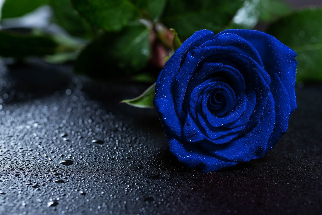 Beautiful Blue Rose With Water Drops Blue Roses Wallpaper Rose Flower Wallpaper Rose Wallpaper Blue rose wallpaper hd