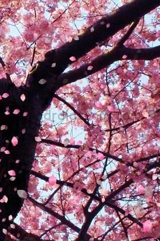 Cherry Blossoms Cherry Blossom Tree Sakura Cherry Blossom Blossom Trees
