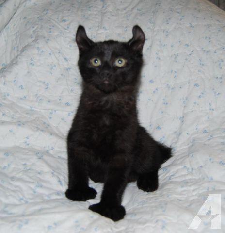 Rare Melanistic Highland Lynx Male Kitten Lynx Kitten Kittens