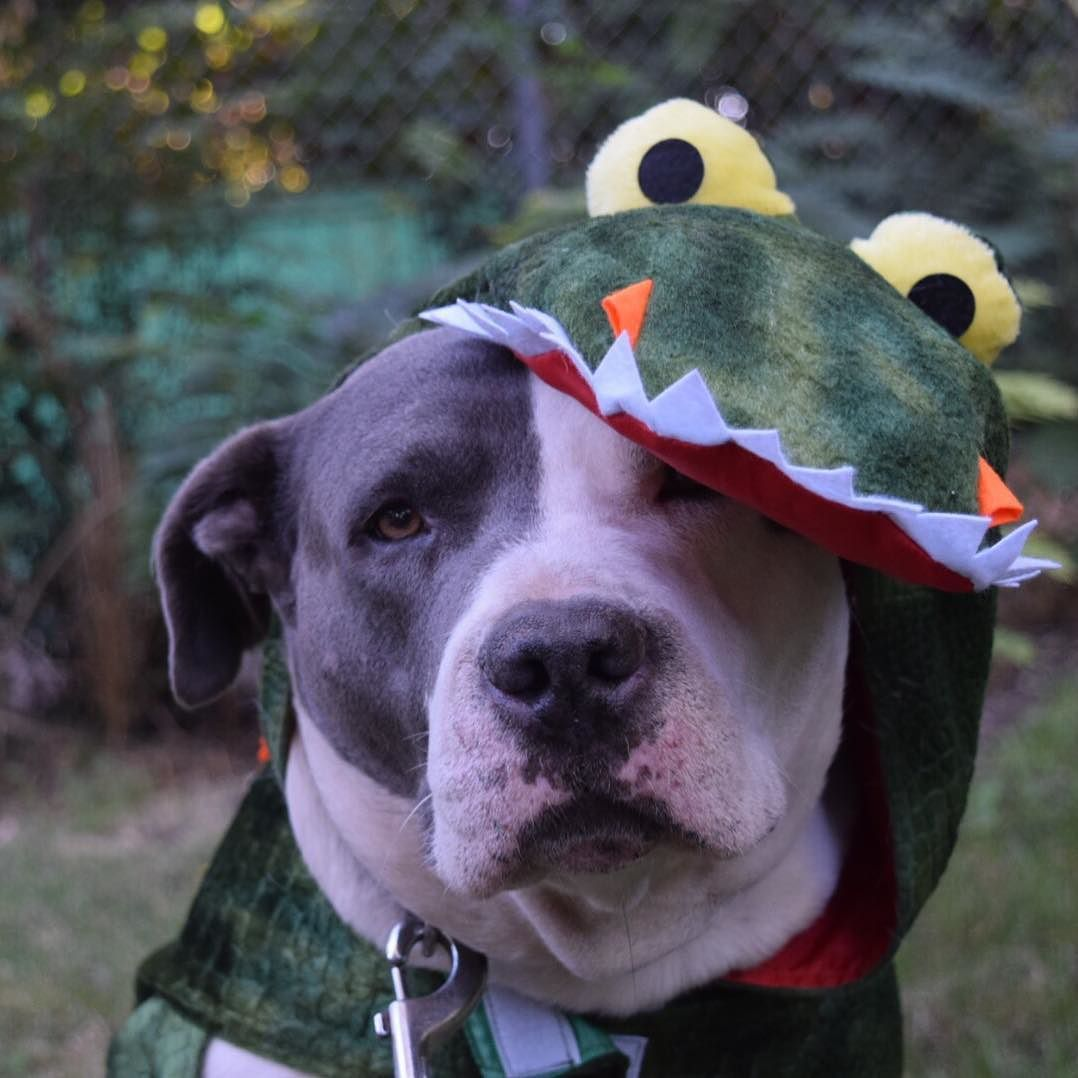Happy Friday! Little preview of Spikes Halloween costume!  @ourpitpage by pitbullsofinstagram