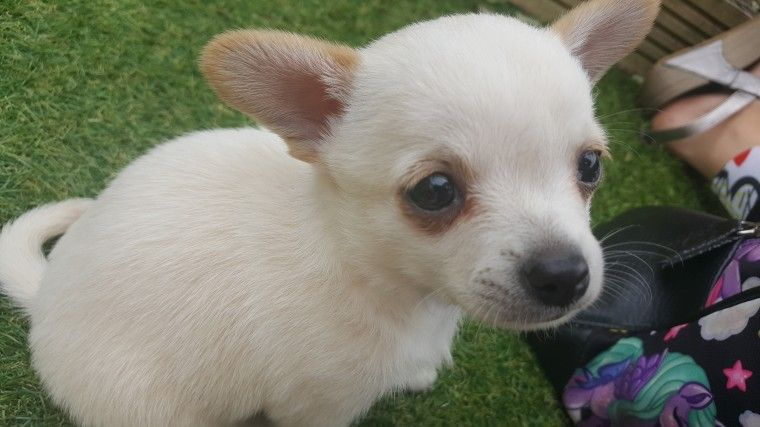 Beautiful Male Chihuahua Puppy For Sale Chihuahua Puppies For