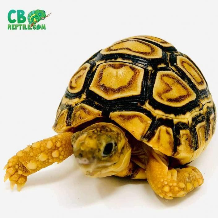 Sulcata Tortoise For Sale Online Spurred Tortoise Hatchlings For Sale In 2020 Sulcata Tortoise For Sale Sulcata Tortoise Tortoise