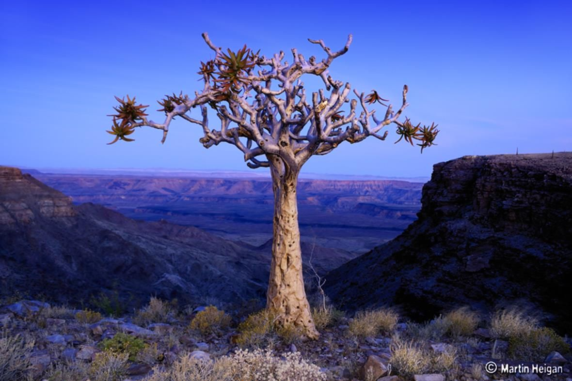 (ALOE DICHOTOMA)Quiver     Tree Because of its distinctive beauty, the quiver tree has been named one of Namibia's national plants. The thick tree is actually a giant aloe in disguise, and has soft pulpy tissue in the trunk and branches rather than actual wood. Its name comes from the indigenous San people's tradition of hollowing out the tubular branches to make quivers for their arrows.