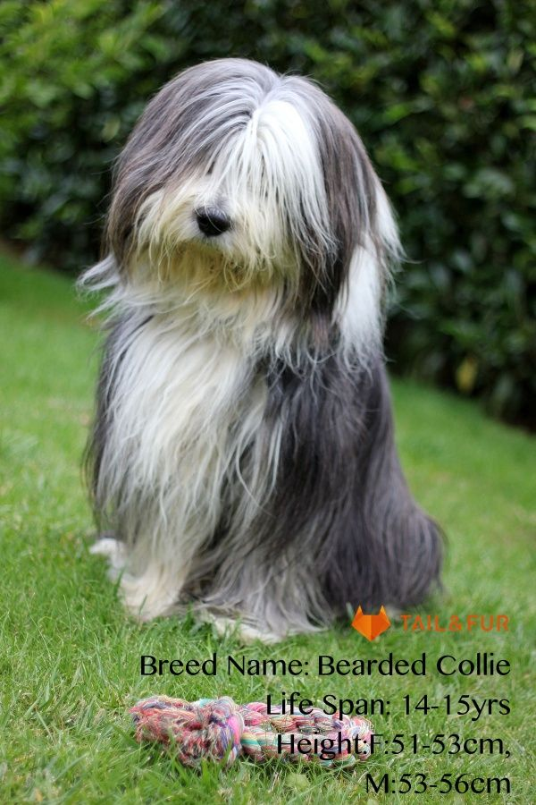 13 Famous Long Haired Dog Breeds Around The World Bearded Collie