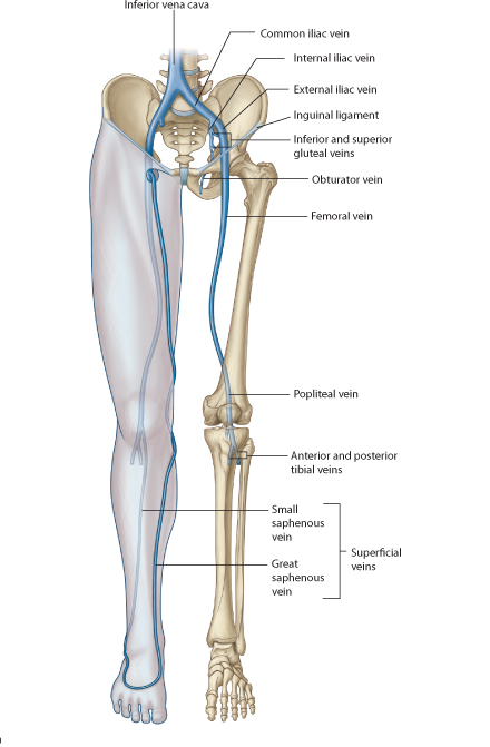 bones and muscles essay Bones have cells embedded in a mineralized (calcium) matrix and collagen  fibers compact bone forms the shafts of long bones.