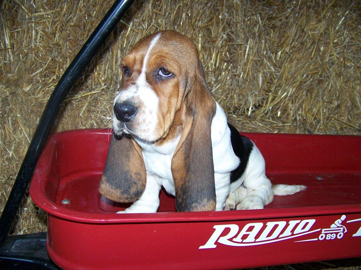 Basset Hound Puppies Basset Hound Puppy Hound Puppies Basset Hound Beagle
