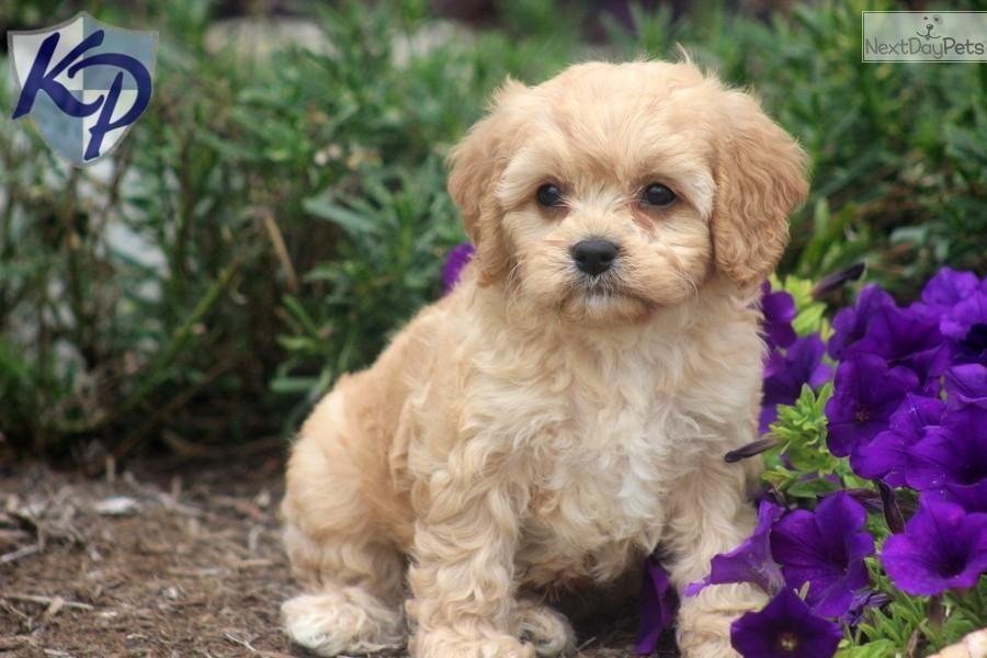 Cute Cavapoo Puppies For Sale Puppies, Cavapoo puppies