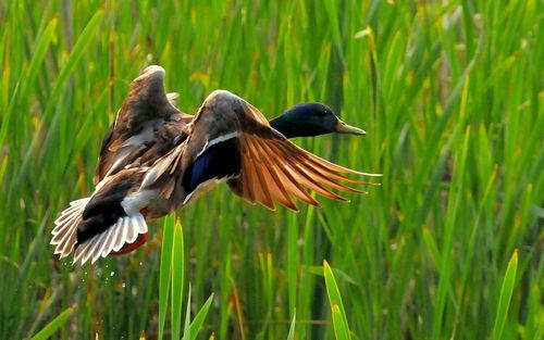 Startled Flight Picture Duck Wallpaper Animals Hunting Wallpaper