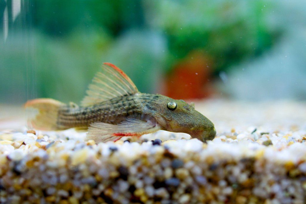 L024 Red Tail Cactus Pleco Plecostomus Red Cactus Live Fish