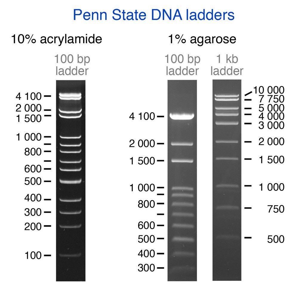 Gel Electorphosis Showing Penn State Dna Ladders Penn State University Penn State Gel Penn State University