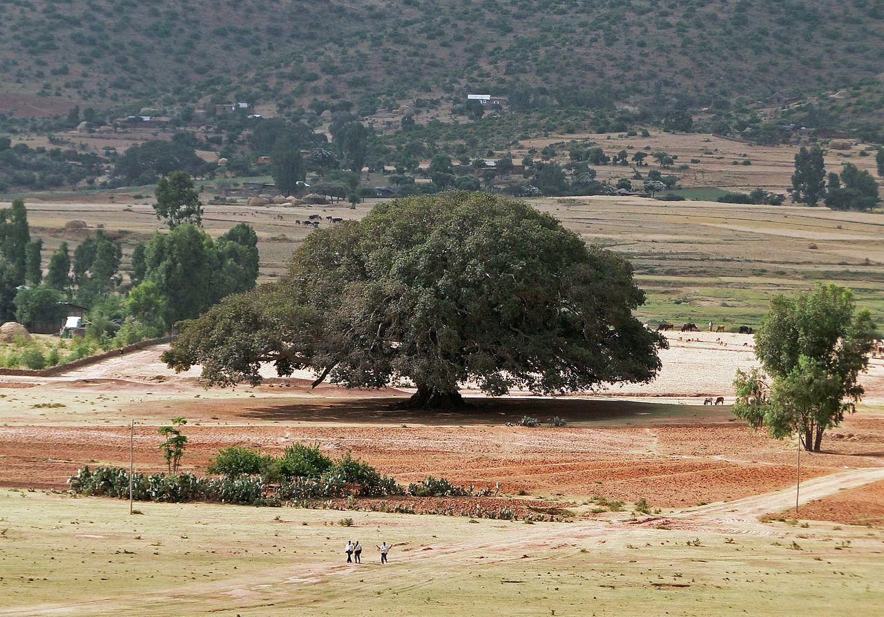 Sycomore in Ethiopia - Ficus sycomorus - Wikipedia, the free encyclopedia