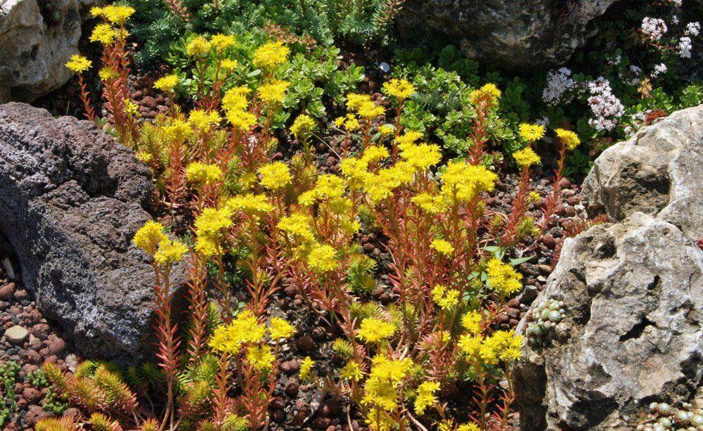 Tripmadam Kuchenkraut Und Heilpflanze Bodendecker Pflanzen Fetthenne