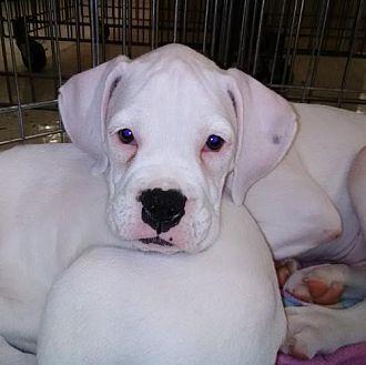 Rottweiler/Boxer Mix Dog for adoption in Miami, Florida