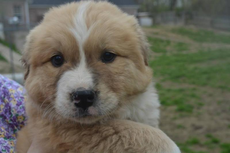Adopt Benn On A New House Needs Diy Dogs Chow Chow Dogs Chow