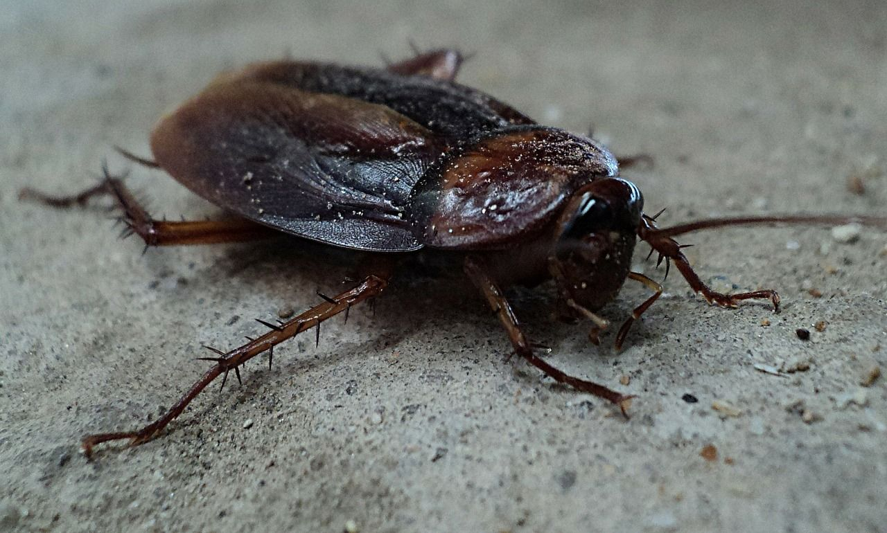 Do Cockroaches Fly 6 Flying Cockroach Questions Answered When