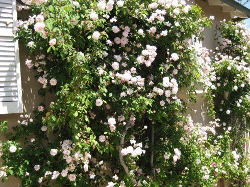 How To Train And Prune Climbing Roses Climbing Roses White Climbing Roses Pruning Climbing Roses