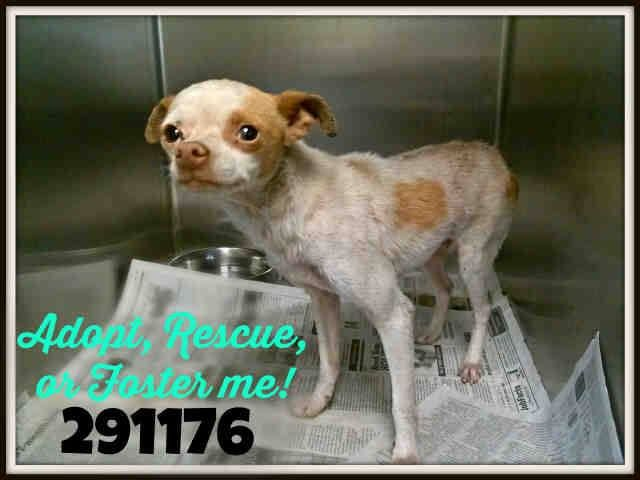 SAFE --- San Antonio, TX *Urgent! @Rishi Saikia of Euthanasia!  **PAST DEADLINE! Need a Commitment Emailed by 5PM & the Pet Picked Up by 6:30PM TUES 4/29!**  (Please Email by Deadline noted above or the Pet Can be Euthanized directly)  To adopt, foster/ email: placement@sanantoniopetsalive.org   >>> >>> Porter A291176- This little guy has a fun personality- he's eager for attention…